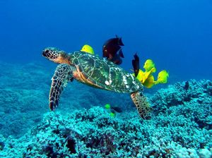 Green_Sea_Turtle_Cleaning_Station_600